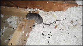 Rat-Control com - Nationwide Rat Control and Rodent